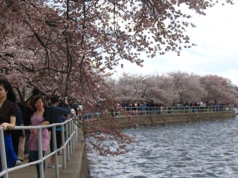 Fighting the crowds at the Cherry Blossoms